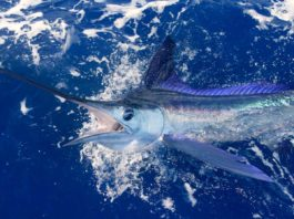 blue marlin close to yacht